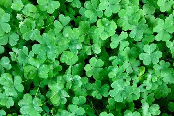 Photo of clover